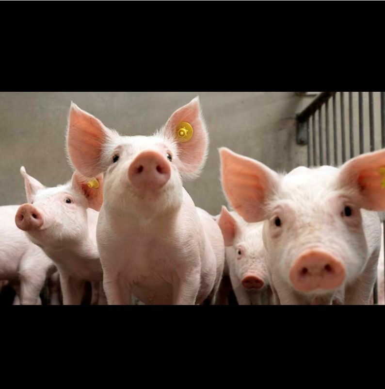 NATIONAL PORK BOARD INVITES LWR TO PRESENT AT INAUGURAL SWINE INNOVATION SUMMIT